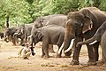 Sakrebailu elephant camp 9.jpg