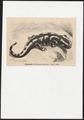 Salamandra maculosa - 1700-1880 - Print - Iconographia Zoologica - Special Collections University of Amsterdam - UBA01 IZ11400093.tif