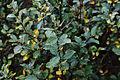 Salix-hastata-foliage (Rømø).JPG
