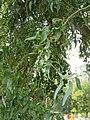 Salix matsudana - kovrdžava vrba.jpg
