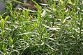 Salvia officinalis Berggarten 0zz.jpg