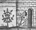 Salviahispanica-florentinecodex2.jpg