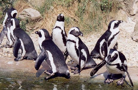 Sander-pinguins.jpg