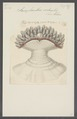 Sarcophianthus sertum - - Print - Iconographia Zoologica - Special Collections University of Amsterdam - UBAINV0274 109 07 0004.tif