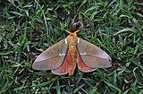 Saturnid moth (Schausiella santarosensis).jpg