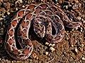 Saw-scaled Viper (Echis carinatus) Photographed By Shantanu Kuveskar.jpg