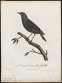 Saxicola formicivora - 1796-1808 - Print - Iconographia Zoologica - Special Collections University of Amsterdam - UBA01 IZ16200342.tif