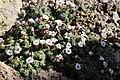 Saxifraga andersonii BotGardMunich 20170225 B.jpg