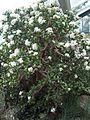 Saxifragales - Crassula ovata 5.jpg