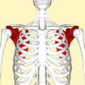 Scapula - anterior view2.png
