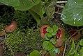 Scarlet Elfcup, Sarcoscypha austriaca (24625949430).jpg