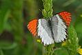 Scarlet Tip (Colotis danae annae) male (17418586482).jpg