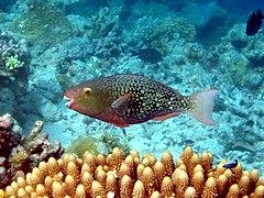 240px scarus rubroviolaceus maldives