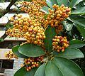 Schefflera arboricola, vrugte, c, Pretoria.jpg