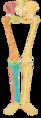 Scheletul membrului inferior 2.tif