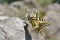 Schwalbenschwanz, Papilio machaon.jpg