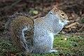 Sciurus carolinensis eating nuts.jpg