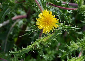 Scolymus - Scolymus hispanicus