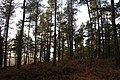 Scots pine in Commonty Wood - geograph.org.uk - 99633.jpg