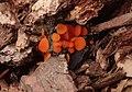 Scutellinia crucipila (Cooke & W. Phillips) J. Moravec 614355 crop.jpg