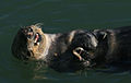 Sea otter with shells 2.jpg