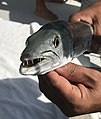 Seabase bahamas - baracuda fishing - 01.jpg