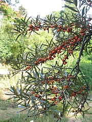 Sea-buckthorn. Location: Bonn, Germany
