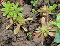Sedum cepaea plant (13).jpg