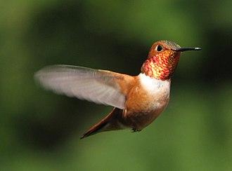 Rufous hummingbird - Hovering male rufous hummingbird