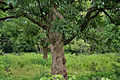 Semecarpus anacardium (Marking Nut) W IMG 1408.jpg