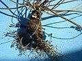 Semiaquilegia adoxoides root.jpeg