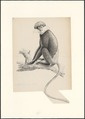 Semnopithecus latibarbatus var. pallidus - 1749-1842 - Print - Iconographia Zoologica - Special Collections University of Amsterdam - UBA01 IZA1000859.tif