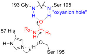 Oxyanion hole - Oxyanion hole of a serine protease (black) stabilises negative charge build-up on the transition state of the substrate (red) using hydrogen bonds from enzyme's backbone amides (blue).
