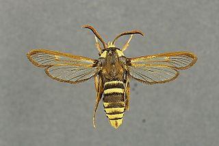 Hornet moth Species of moth