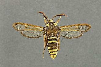 Hornet moth - Image: Sesia apiformis mounted