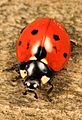 Seven-spotted Lady Beetle - Coccinella septempunctata, Leesylvania State Park, Woodbridge, Virginia - 01.jpg