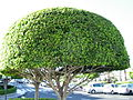 Shaped tree Tenerife.JPG