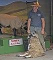 Sheep sitting pretty, London (7608512650).jpg