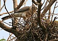Shikra (Accipiter badius) at nest in Hyderabad W IMG 7148.jpg