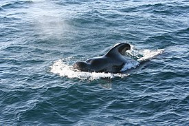 Pilot whale - Wikipedia, the free encyclopedia