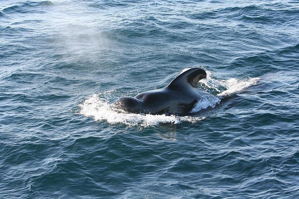 Short-finned Pilot Whale 1