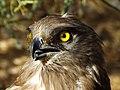 Short-toed Eagle 14.jpg
