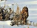 Short Eared Owl Seedskadee NWR (16113875681).jpg
