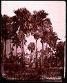 Siam (Thailand). Palmyra palms, Siam. Wellcome L0031019.jpg