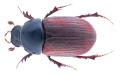 Sigorus porcus (Fabricius , 1792) Syn.- Aphodius (Sigorus) porcus (Fabricius, 1792) (34855706943).png