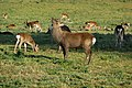 Sika stag near Arne Farm - geograph.org.uk - 1772434.jpg
