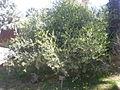 Simmondsia chinensis 1c.JPG