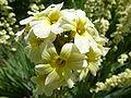 Sisyrinchium striatum (Iridaceae) flower 2.JPG
