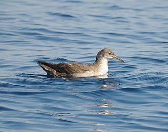 Balearic shearwater - Image: Skua 20100427 161943 (12560085194)