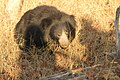 Sloth bear (12).jpg
